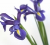 Blue Irises